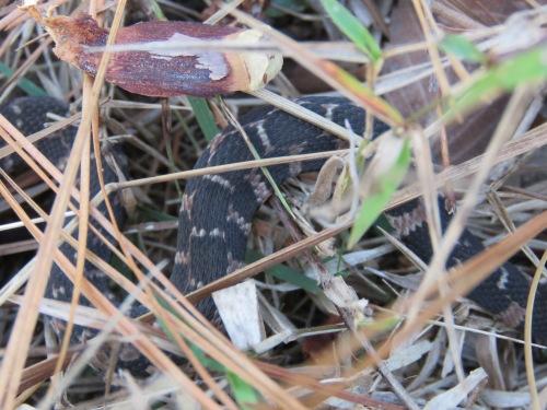 Blotched Water Snake, Nerodia erythrogaster transversa, juvenile.