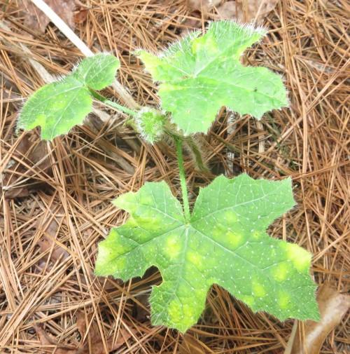 Bullnettle, also called Carolina horse nettle (Solanum carolinense).