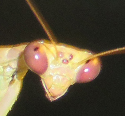 Close-up of face, showing eyespots between compound eyes.