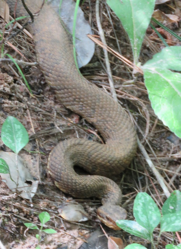 Western Cottonmouth, also called Water Moccasin.