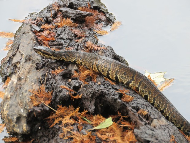 Cottonmouth with bald cypress needles.