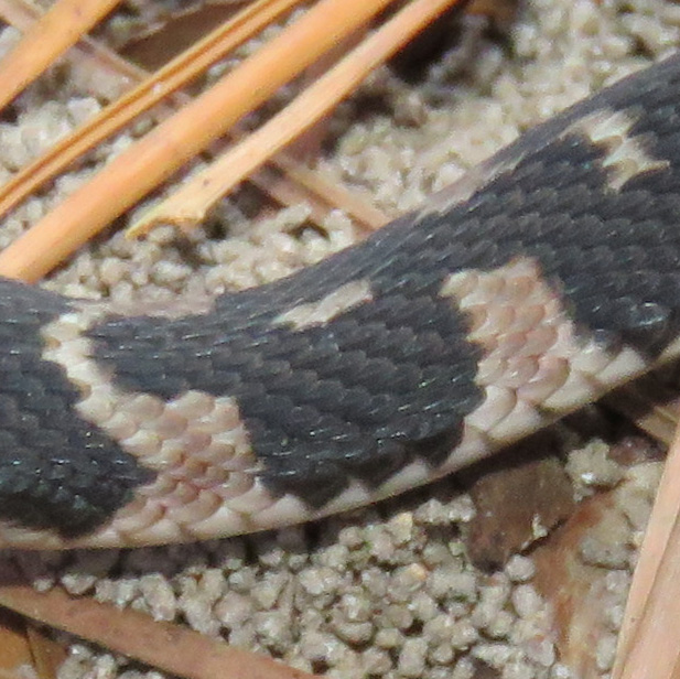 Close-up of its beautiful black and pink scales.  Compare the scales to the grains of sand beneath the snake to get an idea of their size and detail.