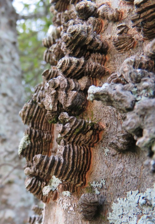 Close-up of the bumpy bark.