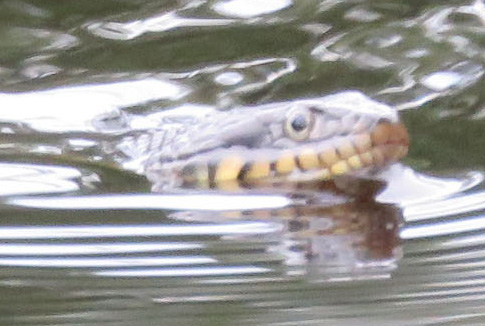 Mystery swimming snake, close-up.