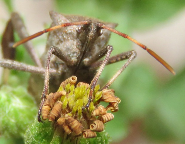 The charming face of an Eastern Leaf-footed Bug.