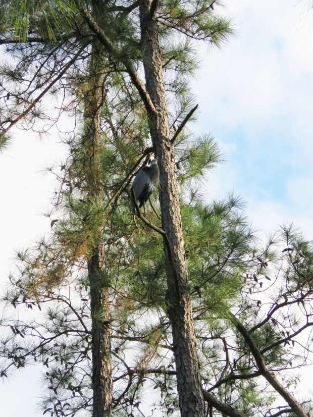 Great Blue Heron up in a pine tree.