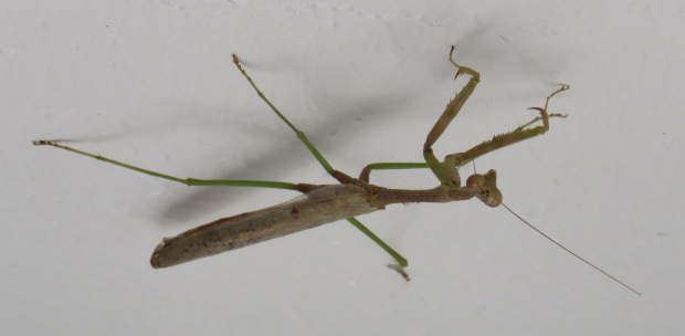 Male mantis.