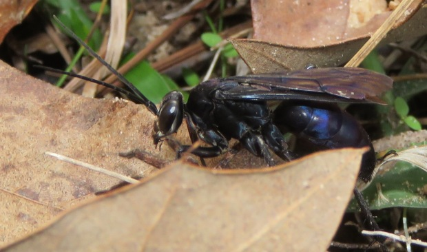 Spider wasp, possibly Anoplius.