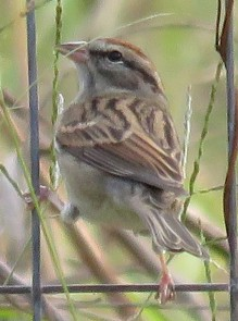 Saucy Chipping Sparrow.