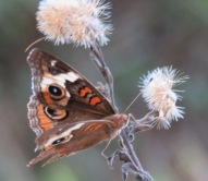Buckeye butterfly on Camphor Daisy seedheads.