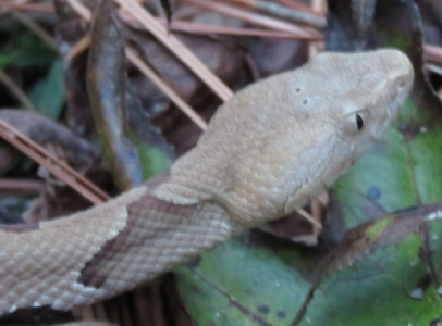copperhead close-up