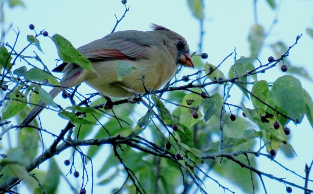 A female Northern Cardinal enjoys the sugarberries.
