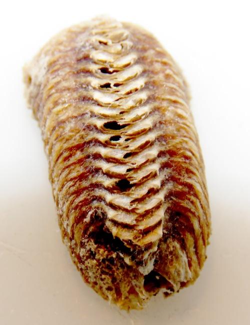 Mantis egg case.