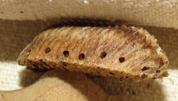 I believe the holes in the side and on the top are where the young mantises emerged.