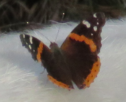 Red Admiral, Vanessa atalanta, on Boer goat.
