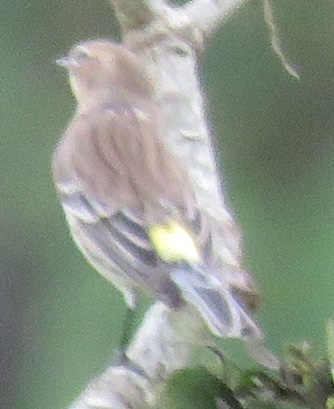 Yellow-rumped Warbler: the evidence.