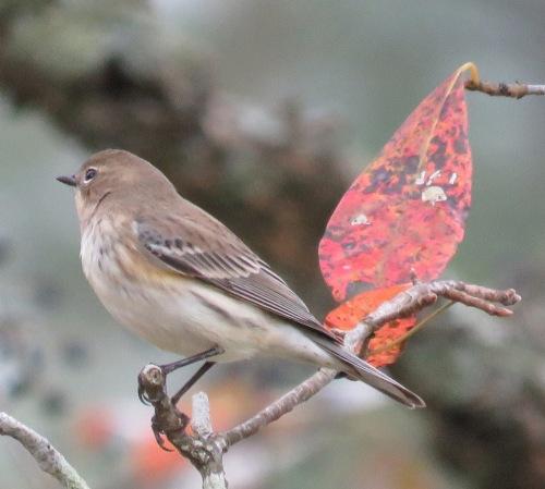 Warbler of unknown species.