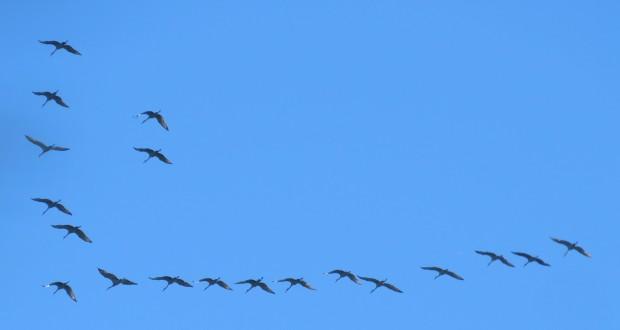 Sandhill Cranes, Grus canadensis.