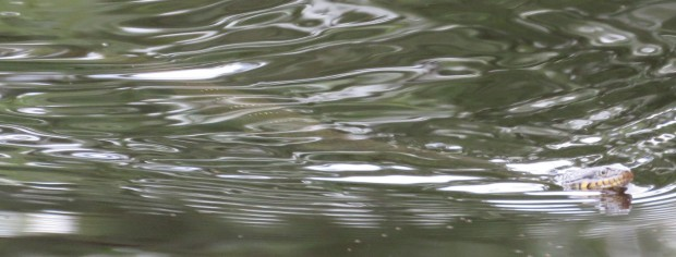I took this in June. I could see it wasn't a broad-banded water snake, but I couldn't see enough detail to settle on an ID.