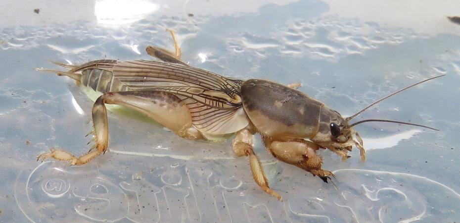 Scapteriscus borelli