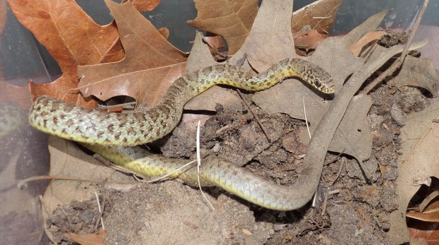 Eastern Yellow-bellied Racer, Coluber constrictor flaviventris