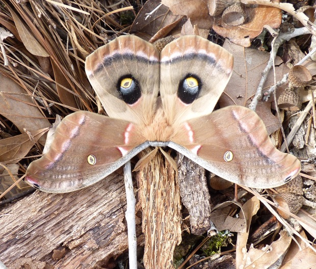 Polyphemus Moth.