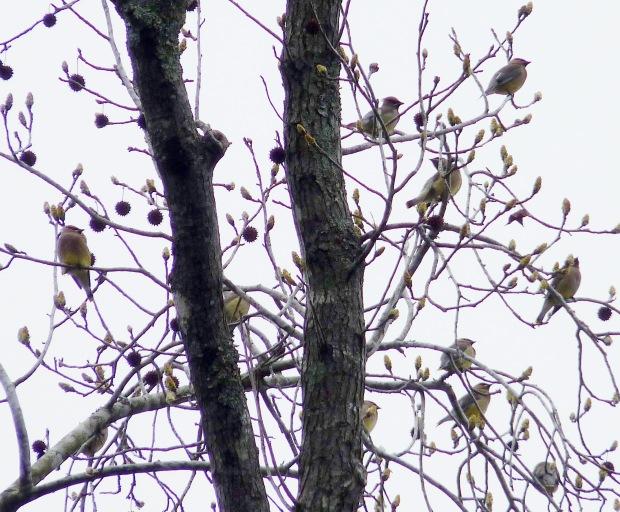 Cedar Waxwings gather in a sweetgum tree.