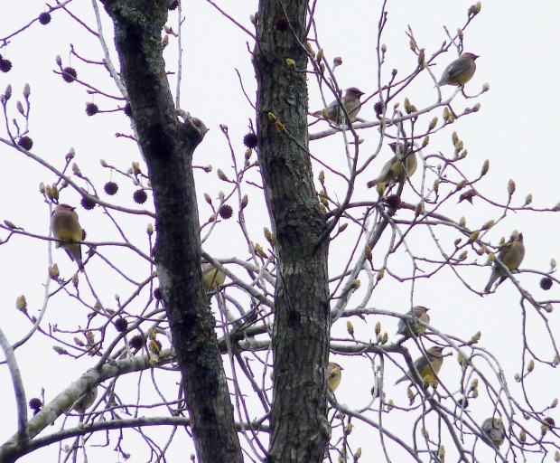 Cedar Waxwings gather in a sweetgum tree.