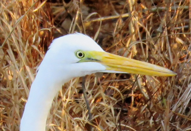 Great Egret, close-up.