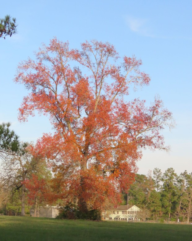 Belated fall color in a sweet gum tree.