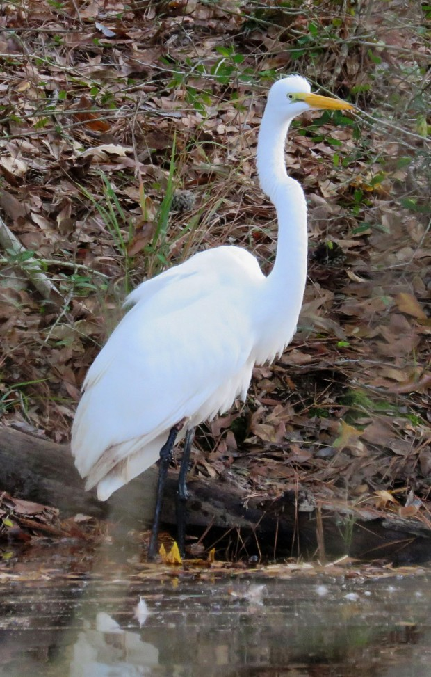 Great Egret, Ardea alba.