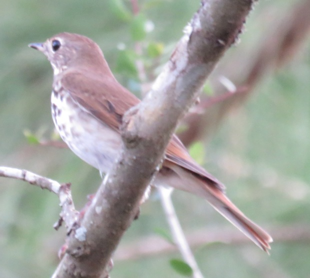 Bird species #87 for our farm -- Hermit Thrush.