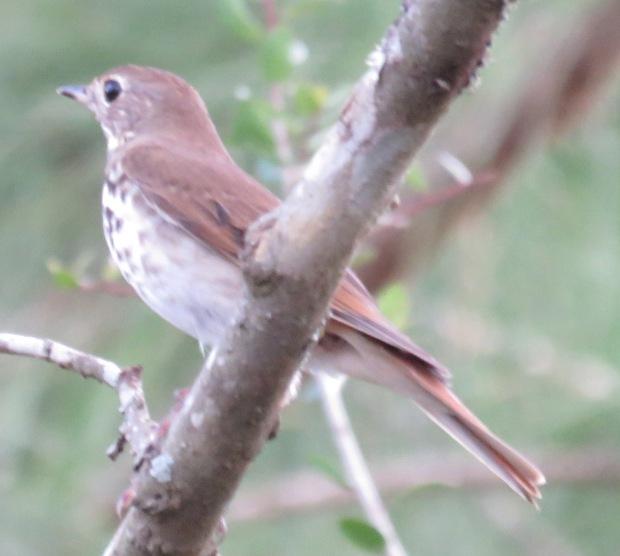 Bird species #87 for our farm -- Hermit Thrush.