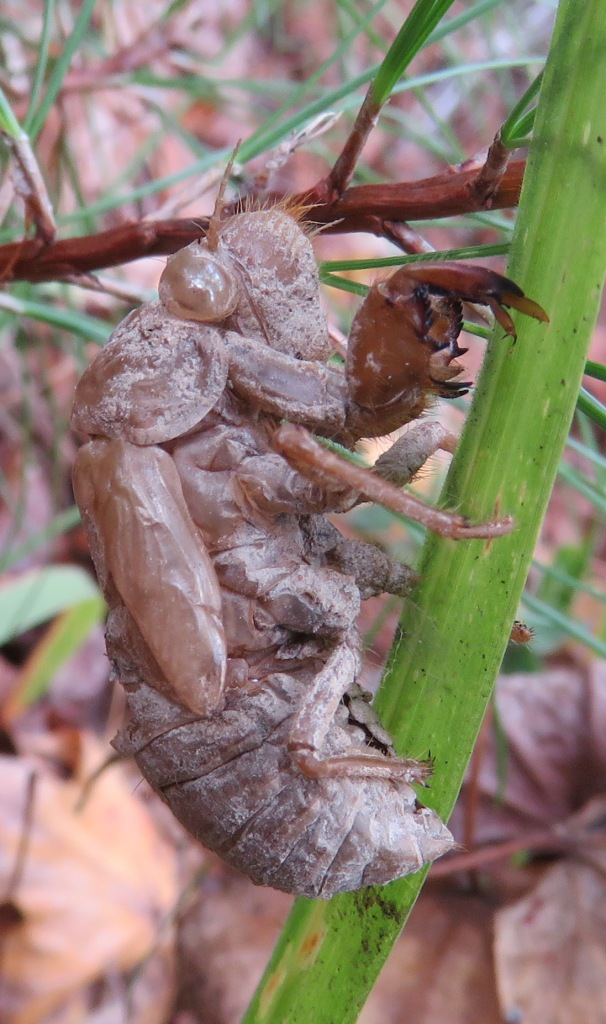 Hollow carapace of a cicada. Who knows how long it's been clinging to this grass blade?