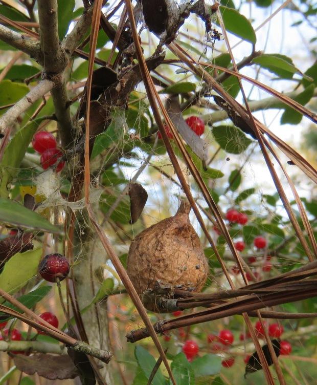 Spider egg sac in a yaupon shrub.
