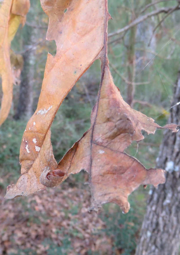 A small spider finds shelter in the curl of a dead leaf.