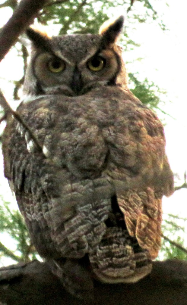 Calm stare of a Great Horned Owl. Notice that its back is facing us and it has turned its head around 180 degrees.