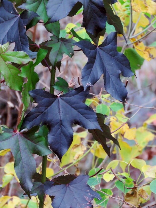 The deep purple star-shaped sweet gum leaves are seen here with the yellow-green leaves of Chinese tallow tree.