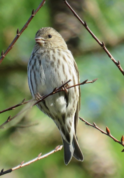 Pine Siskin, another bird I would never have identified correctly without recourse to a whole lot of field guides.