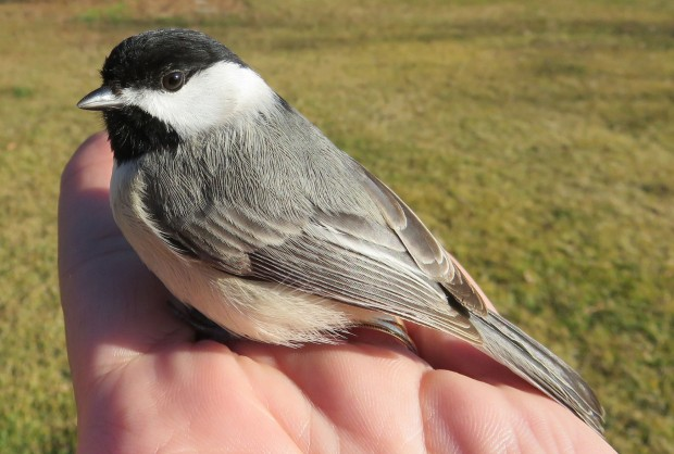 My husband found this chickadee just sitting on our deck, not moving. After a few minutes, it flew off.