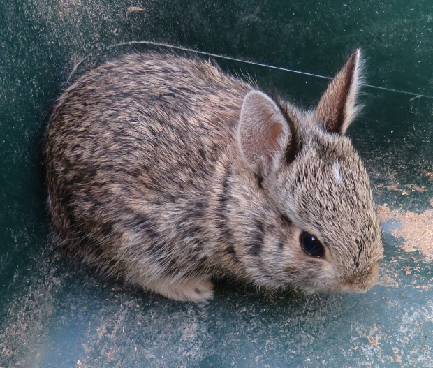 I was weeding the garden when this baby rabbit hopped out of the weeds just a few inches from me, and sat there.