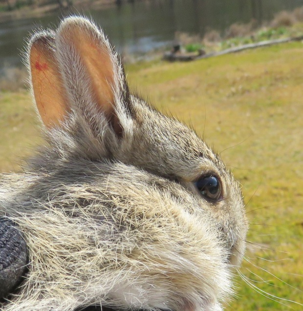 cottontail close up
