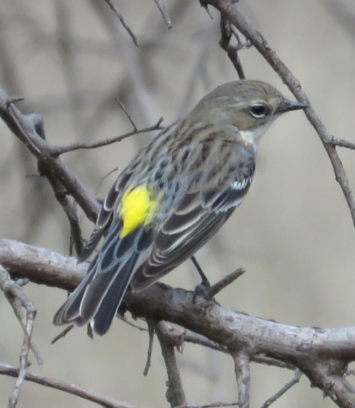 Finally! A cooperative Yellow-rumped Warbler allows me a clear photo.