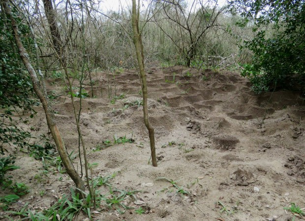 Large area of Leaf-cutter ant mounds.