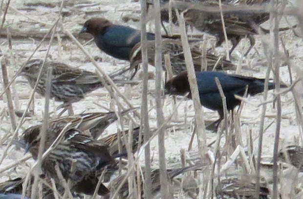 The Brown-headed Cowbird males are easily identifiable in the mixed flock.