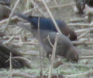 Brown-headed Cowbird pair. The female is nondescript, but her smooth solid coloring is easy to differentiate from the streaked blackbird females. If there were more present, I think I would be able to find them.