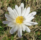 This flower is new to me but I believe it is a Carolina Anemone.