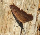 Questionmark butterfly.