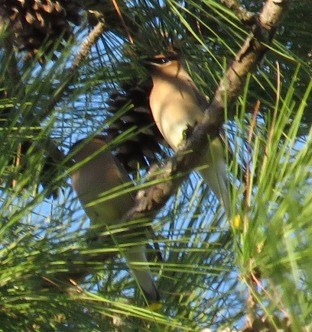 Some Cedar Waxwings are still hanging around.