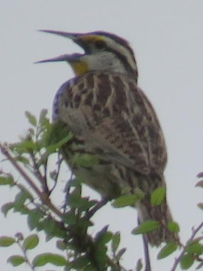 Eastern Meadowlark.